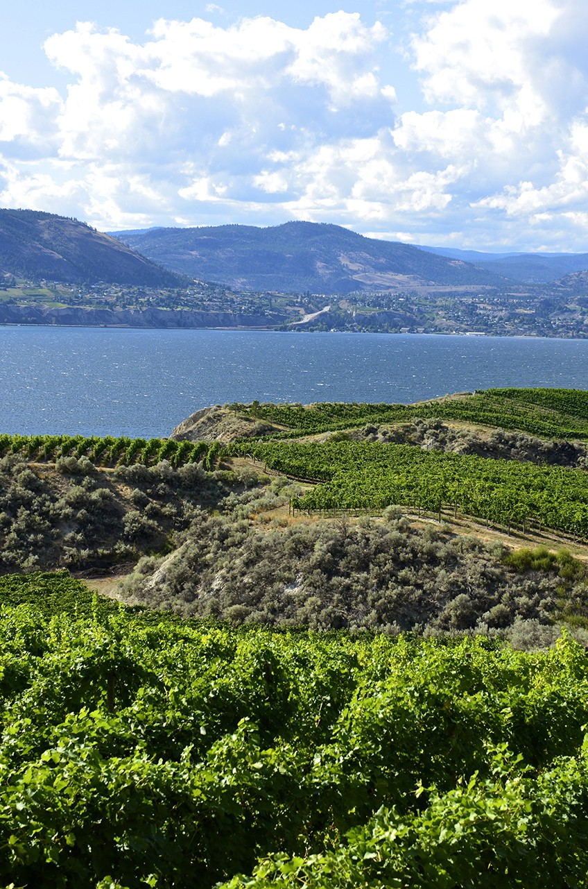 Vineyard Beside Okanagan Lake